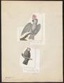 Cacatua molluccensis - 1700-1880 - Print - Iconographia Zoologica - Special Collections University of Amsterdam - UBA01 IZ18600007.tif
