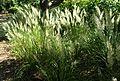 Calamagrostis arundinacea kz7.jpg