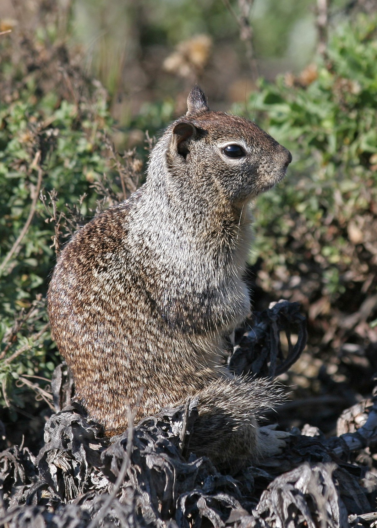 California Ground Squirrel Wikipedia