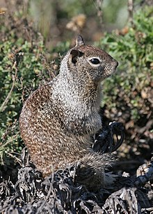 California Ground Squirrel JCB.jpg