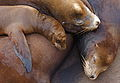 California Sea Lions.jpg