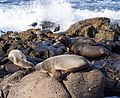 California sea lions in La Jolla (70414).jpg