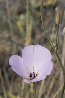 Calochortus Splendens Wikipedia