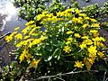 Caltha palustris sl8.jpg