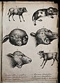 Calves and other mammals with congenital defects to the spin Wellcome V0022901ER.jpg