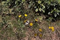 Calvisson-Chemin de la Louve-Iphiclides podalirius-20140409.jpg