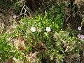 Calystegia sepium roseata R.Br. (AM AK304529-3).jpg