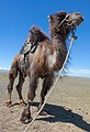 Camel1111111 02.jpg
