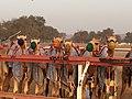 Camel Races.jpg