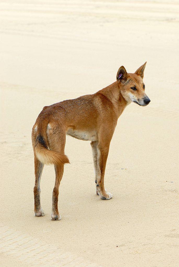 Red Dingo Dog Tags Amazon