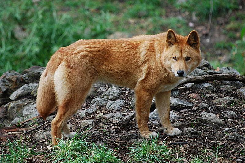Fichier:Canis lupus dingo - cleland wildlife park.JPG