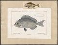 Cantharus lineatus - 1700-1880 - Print - Iconographia Zoologica - Special Collections University of Amsterdam - UBA01 IZ13100001.tif