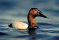 Canvasback (5837265462).jpg