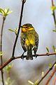 Cape May Warbler (Setophaga tigrina) (3203467113).jpg