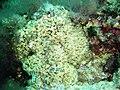 Capo Gallo 002 Cladocora caespitosa.jpg