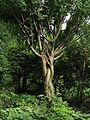 Caragana arborescens Syrets2.JPG