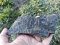 Carboniferous fossil plant Neuropteris.jpg