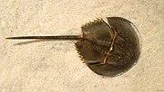 Carcinoscorpius rotundicauda (mangrove horseshoe crab)