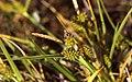 CarexViridula2.jpg