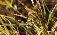 CarexViridula2