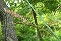 Carex acutiformis inflorescens (04).jpg