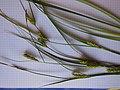 Carex hirta inflorescens (30).jpg