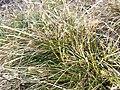Carex humilis sl1.jpg