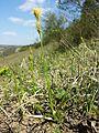Carex michelii sl5.jpg