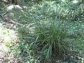 Carex pendula plant (21).jpg