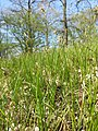 Carex praecox sl41.jpg