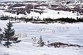 Caribou Rangifer tarandus caribou (47796954791).jpg