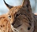 Carpathian Lynx 1a (16095572833).jpg