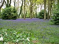 Carpet of Bluebells - geograph.org.uk - 1556382.jpg