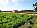 Carrot field - geograph.org.uk - 1521775.jpg