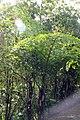 Caryota gigas 8zz.jpg