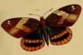 Castnia veraguana, Westwood 1877.png