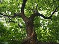 Catalpa bignonioides Surmia bignoniowa 2018-06-10 02.jpg