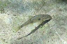 Catostomus occidentalis.jpg