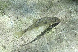 Catostomus occidentalis.jpg