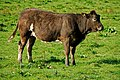Cattle, Lagan towpath (2) - geograph.org.uk - 1518603.jpg