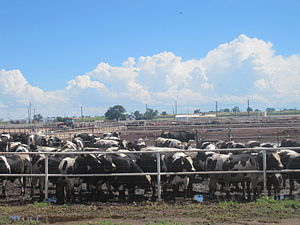 Otero County, Colorado - Cattle feedlot in Otero County west of Rocky Ford