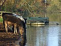 Cattle drinking the Thames, Hurley - geograph.org.uk - 605557.jpg