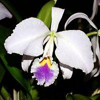 Cattleya mendelii Orchi 143