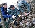 Cattura muflone 02-04-06.jpg