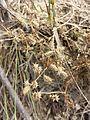 Caucalis platycarpos subsp. platycarpos sl10.jpg
