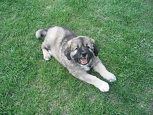 A Caucasian Shepherd Dog puppy.