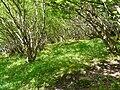 Cazeaux-de-Larboust bois du Lys rouge.JPG