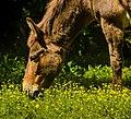 Cedarock mule - panoramio (1).jpg