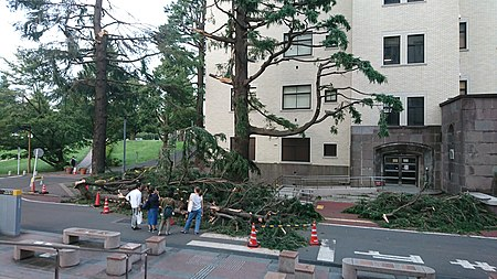 Cedrus Deodara in Tokyo Institute of Technology destroyed by Typhoon Faxai in 2019 03.jpg