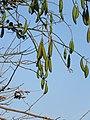 Ceiba pentandra - Kapok Tree at Peravoor 2019 (5).jpg